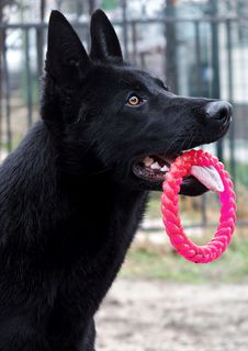 Free Dog, Dog Like Mammal, Black, Dog Breed Royalty Free Stock Images - 106389109