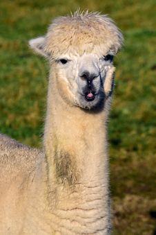 Free Llama, Alpaca, Camel Like Mammal, Fauna Royalty Free Stock Images - 106389359
