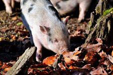 Free Pig Like Mammal, Fauna, Mammal, Pig Royalty Free Stock Photo - 106389945