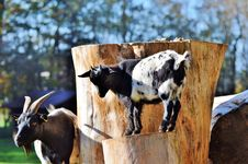 Free Cattle Like Mammal, Goats, Cow Goat Family, Livestock Stock Photography - 106390012