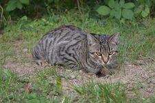 Free Cat, Dragon Li, Fauna, Wild Cat Stock Photography - 106402572