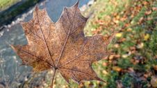 Free Leaf, Maple Leaf, Autumn, Plant Royalty Free Stock Photography - 106402797