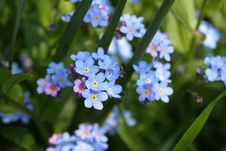 Free Flower, Forget Me Not, Flowering Plant, Plant Royalty Free Stock Photography - 106402937