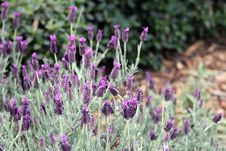 Free Plant, Flower, French Lavender, English Lavender Stock Photography - 106402952