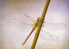 Free Insect, Dragonfly, Dragonflies And Damseflies, Invertebrate Royalty Free Stock Images - 106403009