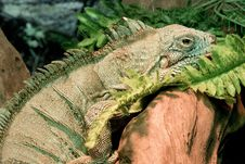 Free Reptile, Iguana, Iguania, Scaled Reptile Stock Photography - 106403162