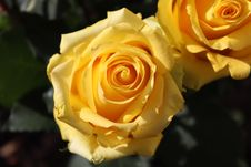 Free Rose, Flower, Rose Family, Yellow Royalty Free Stock Photography - 106403537