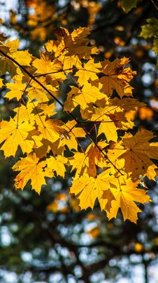 Free Leaf, Yellow, Maple Leaf, Autumn Stock Images - 106403644