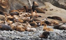Free Sea Lions Lot Royalty Free Stock Photography - 106424447