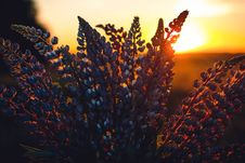 Free Close-up Photography Of Lupines Royalty Free Stock Photography - 106424517