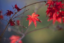 Free Leaf, Maple Leaf, Red, Autumn Stock Photos - 106444753