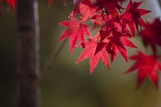 Free Leaf, Red, Maple Leaf, Autumn Royalty Free Stock Photos - 106444758