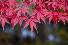 Free Leaf, Maple Leaf, Autumn, Maple Tree Stock Images - 106444764