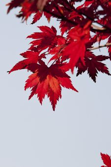 Free Red, Leaf, Maple Leaf, Tree Royalty Free Stock Photos - 106444768