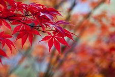 Free Red, Leaf, Maple Leaf, Autumn Royalty Free Stock Photography - 106444777