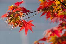 Free Maple Leaf, Leaf, Autumn, Tree Stock Photo - 106444830