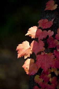 Free Leaf, Autumn, Flora, Maple Leaf Royalty Free Stock Photo - 106444905