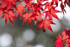 Free Maple Leaf, Red, Leaf, Autumn Royalty Free Stock Photos - 106444978