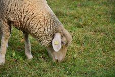 Free Sheep, Mammal, Grass, Pasture Royalty Free Stock Photography - 106445397
