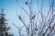 Free Waxwings On Winter Tree Stock Photo - 106831910