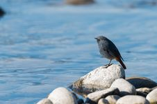 Free Plumbeous Water Redstart Standing Stock Photography - 106973192