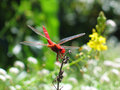 Free Red Dragonfly Royalty Free Stock Images - 1070599