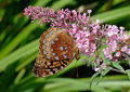 Free Copper Butterfly On Purple Flower Stock Photography - 1075362
