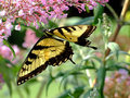 Free Swallowtail Butterfly On Purple Flower Stock Photos - 1075433