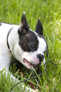 Free Boston Terrier Puppy Royalty Free Stock Photo - 1076085