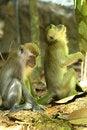 Free Monkey Series Royalty Free Stock Image - 1077256