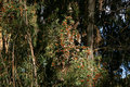 Free Monarchs At Natural Bridges 3 Stock Photography - 1078442