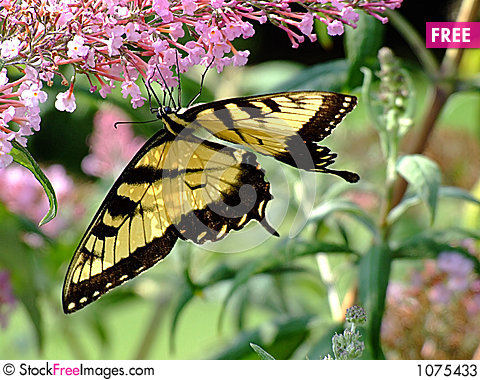 Swallowtail Butterfly on Purple Flower Stock Photo