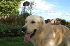 Free Golden Retriever Stock Image - 1070031