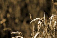 Free Wheat Sheafs Stock Photo - 1070280