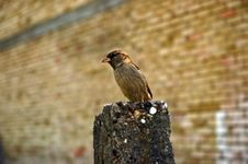 Free Sparrow Royalty Free Stock Photography - 1070707