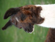 Free Llama Stock Photos - 1070893