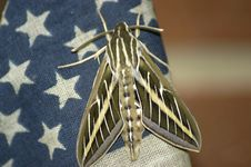 Patriotic Moth Stock Photos