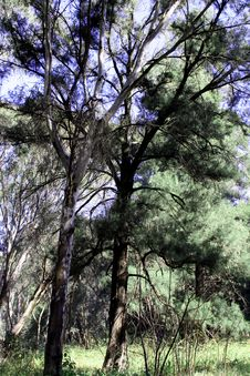 Free Forest Trees Royalty Free Stock Image - 1072106
