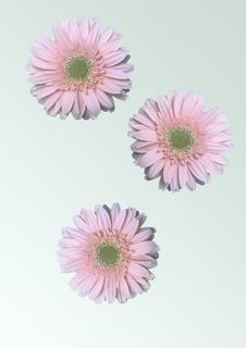 Free PInk Daisy Flowers Royalty Free Stock Photography - 1074667