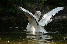 Landing Of Pelican 2 Stock Images