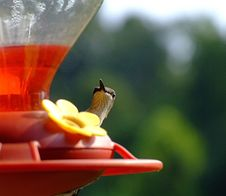 Free Peek-a-boo Hummingbird Stock Photography - 1075532