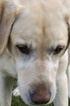 Free Labrador Stock Image - 1075631