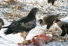 Free Eagle Stock Photography - 1076682
