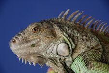 Free Green Iguana 1 Stock Photo - 1077080