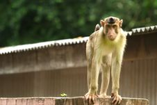 Free Monkey Series Royalty Free Stock Photos - 1077228