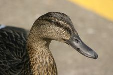 Free Female Mallard Stock Photography - 1077912