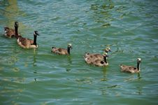 Free Canadian Geese On The Rung Royalty Free Stock Photos - 1078028