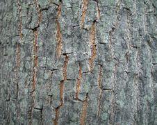 Tree Bark High Resolution Royalty Free Stock Image