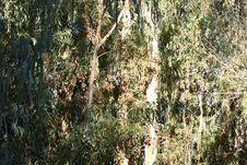Free Monarchs At Natural Bridges 5 Stock Images - 1078454