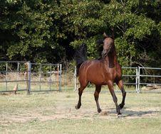 Free Arabian Stallion Stock Photo - 1078500